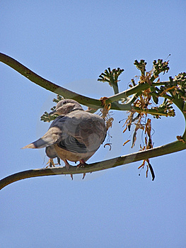 Dove On  Agave Plant In Bloom Stock Photography - Image: 16291602