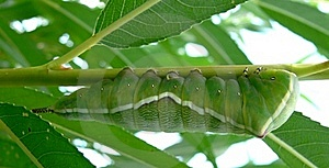 Side View - Puss Moth Caterpillar On Willow Royalty Free Stock Photos - Image: 16291888