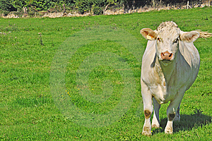 Young Cow In A Meadow Stock Image - Image: 16296061