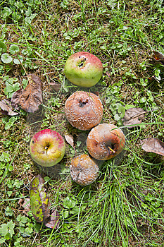 Rotten Apples On The Ground Stock Images - Image: 16297454