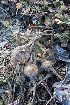 Turnips Waste Stock Photo - Image: 16297480