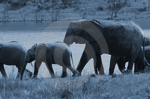 Full Moon Elephant Herd. Stock Photography - Image: 1633792