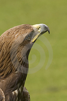 Eagle Looking For Prey Stock Photos - Image: 1635803