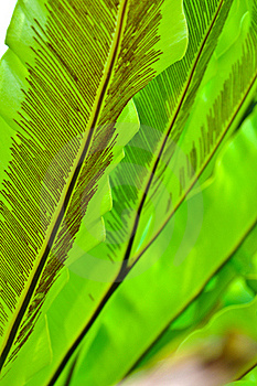Green Leaf Of Bird's Nest Fern Royalty Free Stock Photo - Image: 16300845