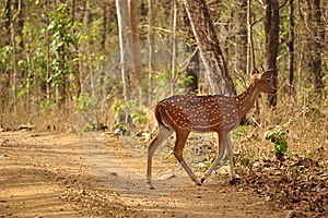 Spotted Deer Stock Photos - Image: 16302023