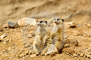 Two Suricata Suricatta Royalty Free Stock Images - Image: 16303559
