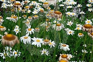 Daisy Stock Image - Image: 16304161