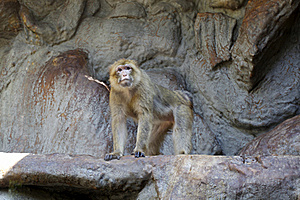 Barbary Macaque Royalty Free Stock Images - Image: 16305789