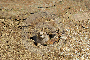 Prairie Dog Stock Image - Image: 16305871