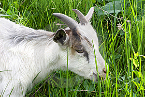 Goat In The Green Grass Royalty Free Stock Photography - Image: 16309207