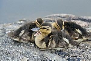Baby Mallard Ducks Stock Photography - Image: 16316472
