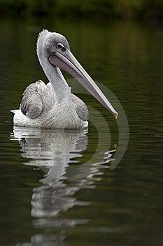 Pelican Stock Photo - Image: 16319960