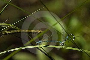 Dragonflies Mating Royalty Free Stock Photos - Image: 16320148