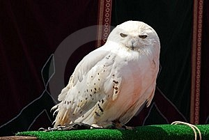 Snowy Owl Royalty Free Stock Image - Image: 16323016