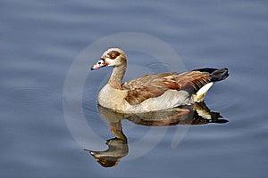Egyptian Goose Royalty Free Stock Image - Image: 16323816