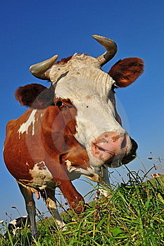 Cow On A Summer Pasture. Royalty Free Stock Photography - Image: 16327807