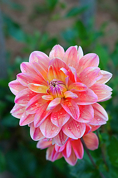 Dahlia Flower Stock Photography - Image: 16331652