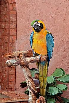 Blue And Gold Macaw (Ara Ararauna) Royalty Free Stock Images - Image: 16334029