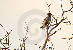 The Brown Snake Eagle Royalty Free Stock Images - Image: 16342359
