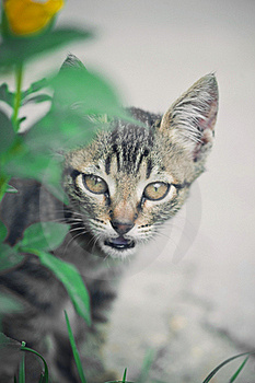 Cat Hunting Behind Green Grass Stock Images - Image: 16342894