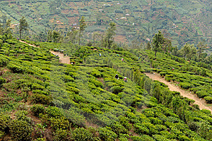 Tea Plant Stock Photo - Image: 16357070