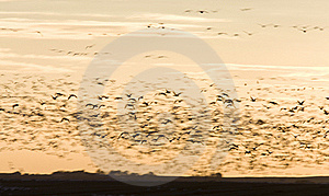 Snow Geese Royalty Free Stock Photos - Image: 16359718