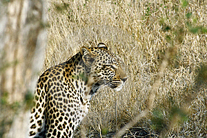 African Leopard Stock Images - Image: 16368594