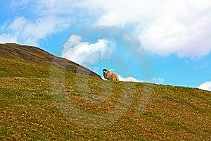 Scottish Landscape With A Sheep Stock Image - Image: 16374671
