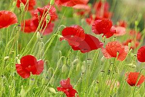 Wild Poppy Stock Images - Image: 16377214