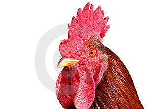 Isolated Rooster Portrait Stock Images - Image: 16388944