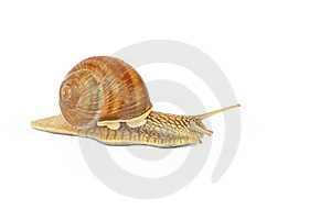 Garden Snail Royalty Free Stock Image - Image: 16389206