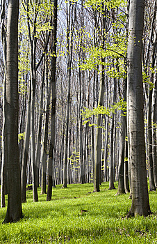 Spring Forest Royalty Free Stock Image - Image: 16393176