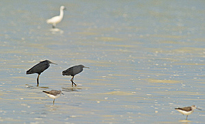 A Couple Of Black Egrets With Rising Tide Royalty Free Stock Image - Image: 16394566