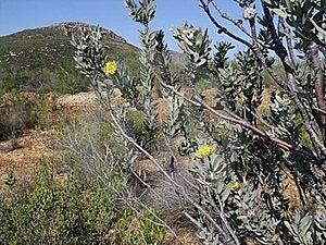 Lducocpermum Rodolentum Stock Image - Image: 16394671
