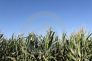 Corn Ready For Harvest Royalty Free Stock Photography - Image: 16396607