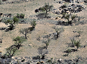 Olive Trees Stock Image - Image: 1646141
