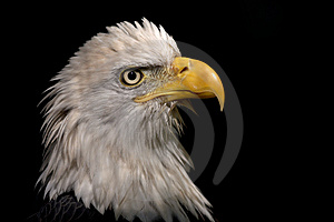 Eagle Portrait Royalty Free Stock Photos