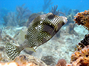 Smooth Trunk Fish Royalty Free Stock Photo - Image: 16404795