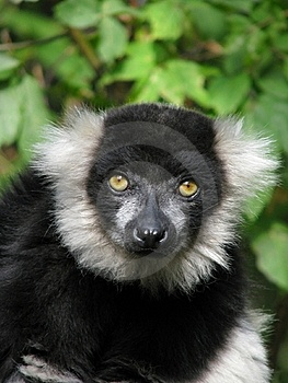 Portrait Of The Ruffed Lemur Stock Image - Image: 16406931