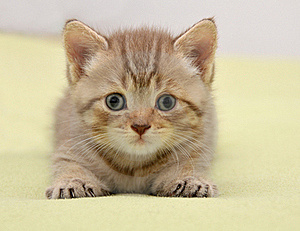 British Kitten Royalty Free Stock Photos - Image: 16406968