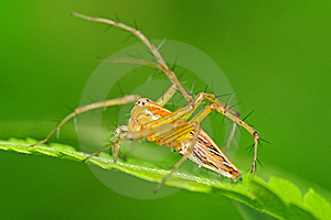 Lynx Spider Stock Image - Image: 16409151
