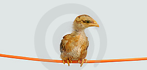 Chicken Royalty Free Stock Image - Image: 16409546
