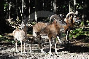 European Mouflon (Ovis Orientalis Musimo) Royalty Free Stock Photography - Image: 16411897