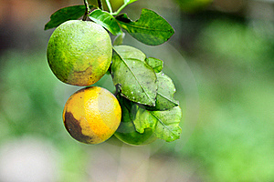 Two Oranges On Tree Royalty Free Stock Images - Image: 16418099