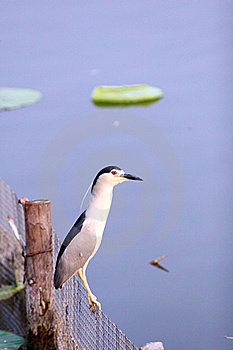 Black-crowned Night Heron Royalty Free Stock Photos - Image: 16418548