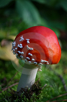 Fly-agaric Royalty Free Stock Photography - Image: 16420337