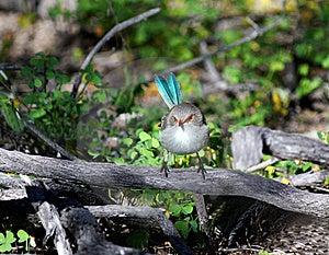 Blue Wren Bird Stock Photography - Image: 16421482