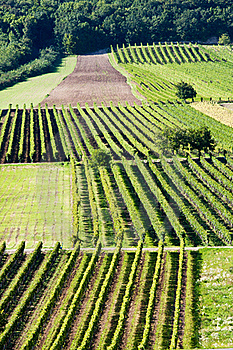 Rows Of Grapes Royalty Free Stock Image - Image: 16424386