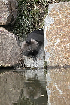 Drinking Lion-tailed Macaque Stock Image - Image: 16426791