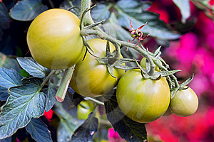 A Green Tomatos In A Garden Stock Images - Image: 16427324